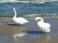 Schwäne am Strand
